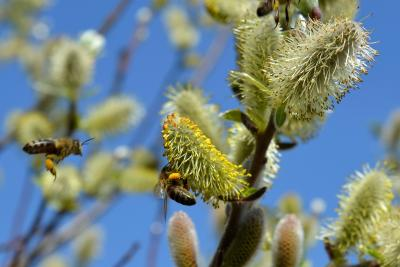 Wildhecken mit Weiden bieten eine wichtige Nahrungsquelle für Bienen