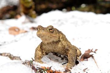 Kröten und Frösche erwachen aus ihrer Winterstarre