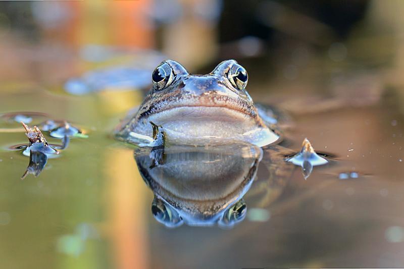 Helfer für Amphibienschutz gesucht