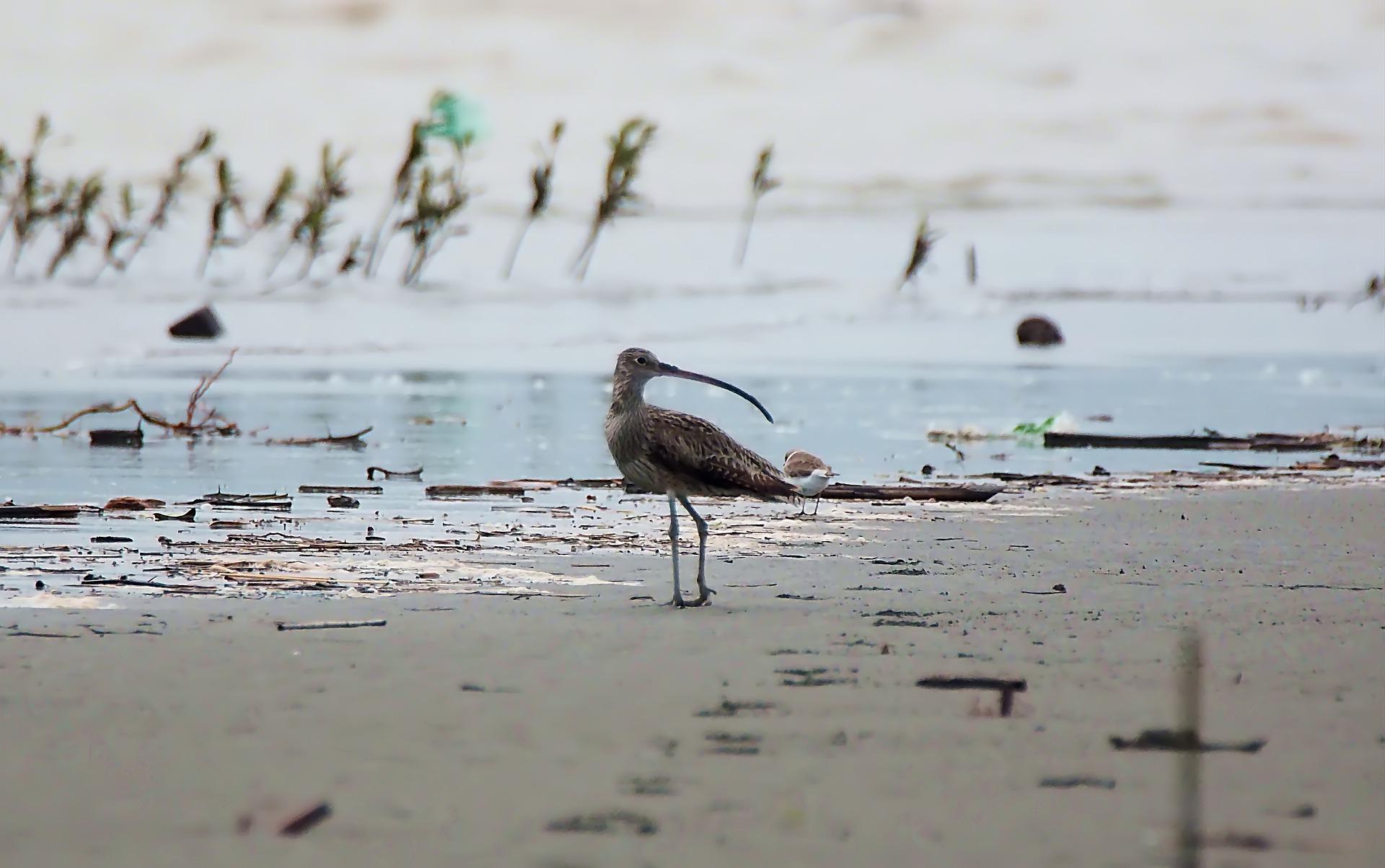 Großer Brachvogel am Wasser